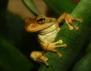Cuban Tree Frog Posters - Young Cuban Tree Frog. Poster by Chris  Kusik
