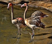 Janet Maloy - Young Flamingoes