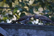 Ed Nicholles - Young Flicker Feeding 1