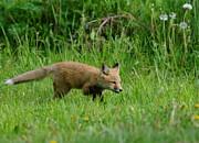 Sandra Updyke - Young fox hunting