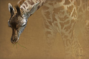 Giraffe Framed Prints - Young Giraffe Framed Print by Aaron Blaise