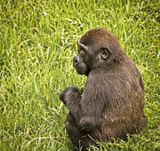 Kate Brown - Young Gorilla