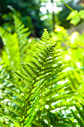 Young Green Fern With Blurry Background Print by Oliver Sved