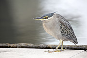JPLDesigns - Young Grey Heron Closeup