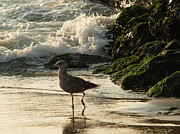 Atlantic Coastal Birds Photo Posters - Young Gull in Surf -- Ocean Grove  NJ Poster by Anna Lisa Yoder