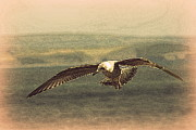 Sennen Photos - Young gull by Linsey Williams