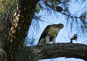 Red Tail Hawk Photo Posters - Young Hawk Poster by Linda Segerson