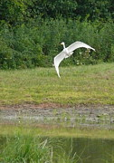 Whit Originals - Young Heron in Flight by Betsy Cotton