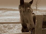 Rick Todaro - Young Horse in Sepia
