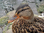 Lilroseann Photography Prints - Young Mallard Duck Print by LilRoseann Photography