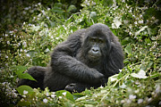 Ape Photo Originals - Young Mountain Gorilla by Juergen Ritterbach