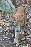 Appalachia Photos - Young Mountain Lion by John Haldane