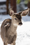 Yosemite Art - Young Mule Deer Fawn in Yosemite National Park by Natural Focal Point Photography