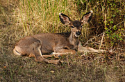 Fawn Photos - Young Mule Deer by Robert Bales