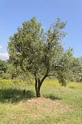 Olive Oil Originals - Young olive tree by Federico Cimino