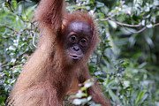 Young Orangutan Kiss Print by Shoal Hollingsworth