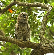 Adam Jewell - Young Owl