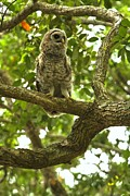 Adam Jewell - Young Owl In A Tree