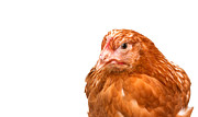 Gallus Gallus Posters - Young Pullet Looking Ahead At An Angle Poster by Fizzy Image