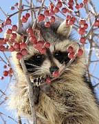 Doris Potter - Young Raccoon among the...