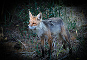 Bushy Tail Photos - Young Red Fox by Robert Bales