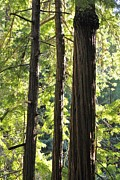 Young Pyrography Posters - Young Redwoods in Big Sur Poster by Chelsea Davey