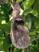 Brown-throated Three-toed Sloth Prints - Young sloth Print by Vilainecrevette