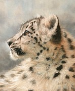 David Stribbling - Young Snow Leopard