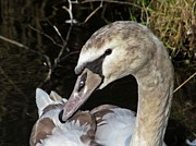 Lilroseann Photography Prints - Young Swan Print by LilRoseann Photography