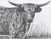 Longhorn Drawings Posters - Young Texas Longhorn Poster by Margaret Stockdale