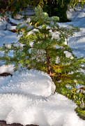 Terrie Heslop - Young Winter Pine