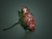 Mehran Akhzari Prints - Your rose Print by Mehran Akhzari
