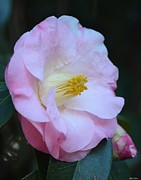 Youthful Camelia Print by Maria Urso