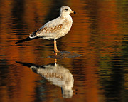 Larus Delawarensis Prints - Youthful Reflections Print by Tony Beck