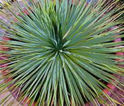 Yucca 2 Print by Frank Tozier