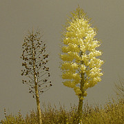 Blooming - Yucca. Double Portrait by Ben and Raisa Gertsberg