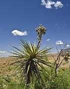 Allen Sheffield - Yucca Fights Back