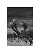 In Full Bloom Prints - Yucca in Black and White Print by Jack Pumphrey
