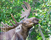 Sam Amato - Yukon Bull Moose Eating