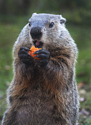 Groundhog Photography Acrylic Prints - Yum-Yum Acrylic Print by Paul W Faust -  Impressions of Light