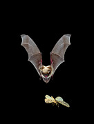 Bat Photos - Yuma Myotis Bat Pursuing Moth by Michael Durham