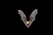 Bat Photos - Yuma Myotis Myotis Yumanensis Bat by Michael Durham