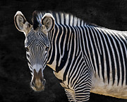 Camouflage Framed Prints - Z is for Zebra Framed Print by Juli Scalzi