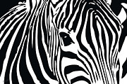 Black And White Digital Art Posters - Zebra-01 Poster by Eakaluk Pataratrivijit