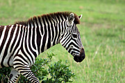 Animal Portrait Prints Prints - Zebra Print by Aidan Moran