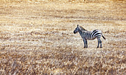 David Millenheft - Zebra-Alone in a Field