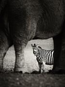 Zebra Barking Print by Johan Swanepoel