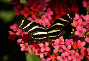 Saija  Lehtonen - Zebra Butterfly on Pink Flowers