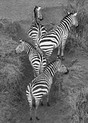 Kenya Photos - Zebra Design by Carol Walker