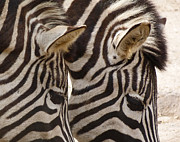 Margaret Saheed Framed Prints - Zebra Double Framed Print by Margaret Saheed
